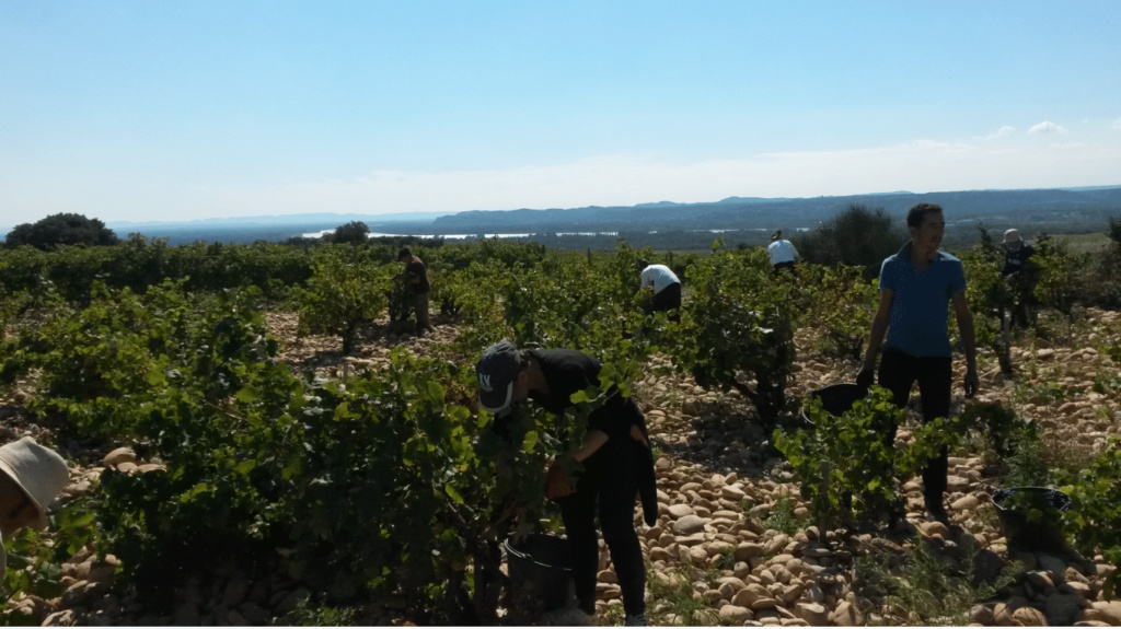 Les vignes de mon pays Vendan10