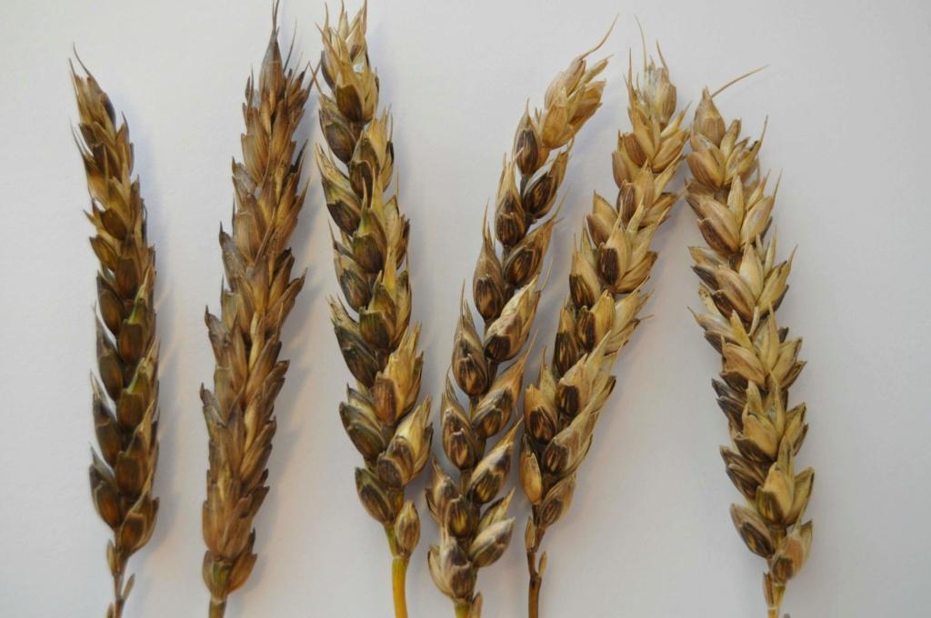le zéro pesticide ! Wheat_10