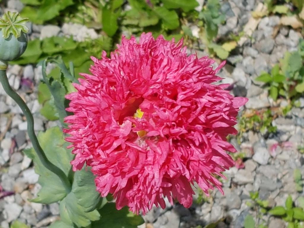 Fleurs de saison - Page 15 Pavot_13
