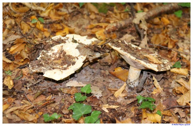 [fil ouvert] les champignons - Page 9 Dsc01362