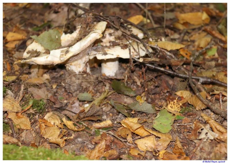 [fil ouvert] les champignons - Page 9 Dsc01416