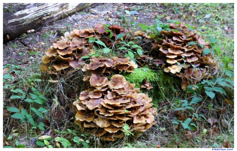 [fil ouvert] les champignons - Page 9 Dsc01605
