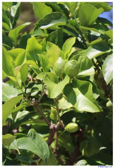 [Fil ouvert] Fruit sur l'arbre - Page 10 Dsc01640