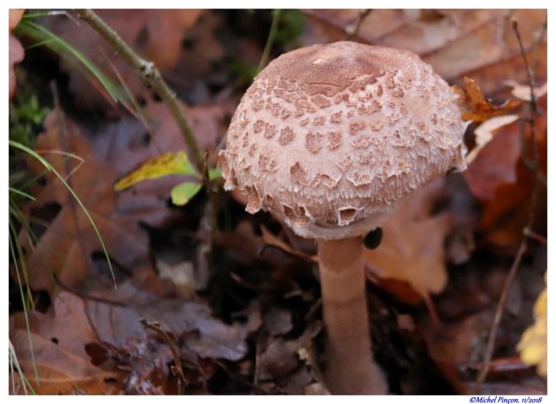 [fil ouvert] les champignons - Page 11 Dsc01928