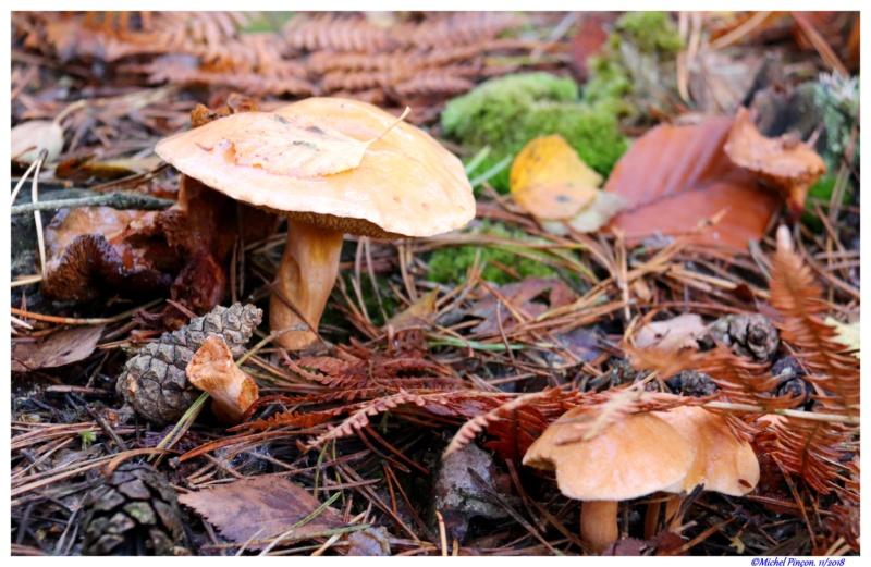 [fil ouvert] les champignons - Page 11 Dsc01937