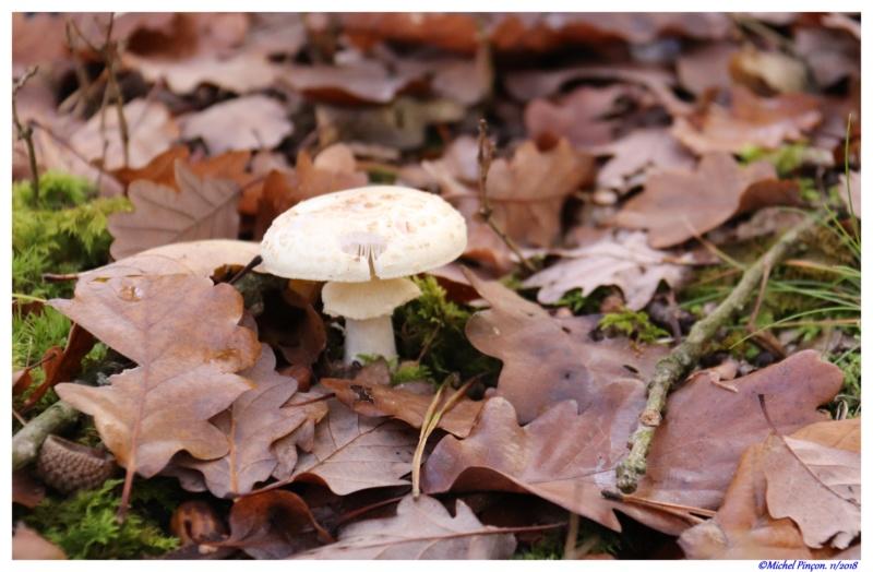 [fil ouvert] les champignons - Page 11 Dsc01938