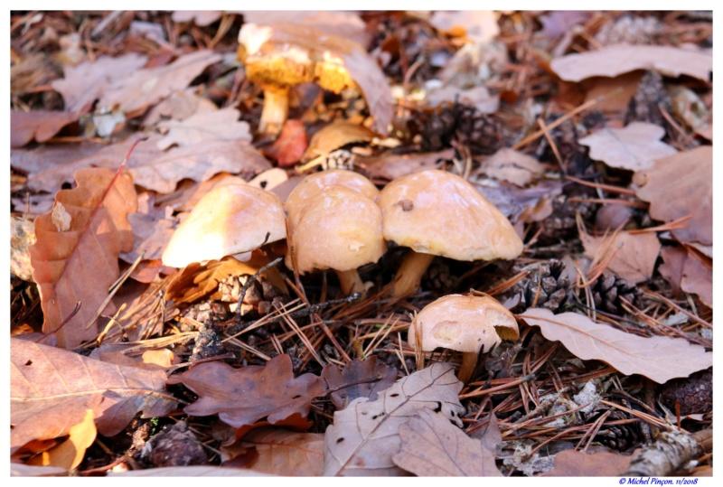[fil ouvert] les champignons - Page 11 Dsc01940