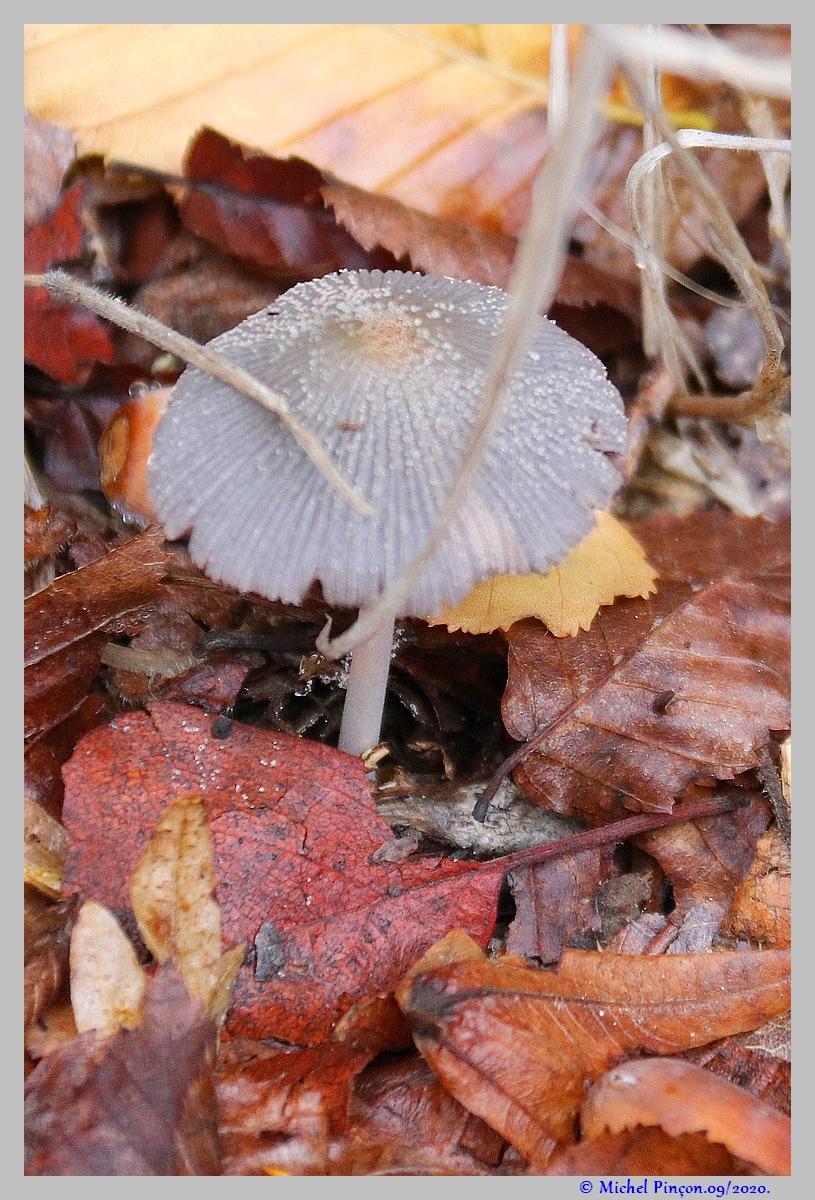[fil ouvert] les champignons - Page 18 Dsc08905