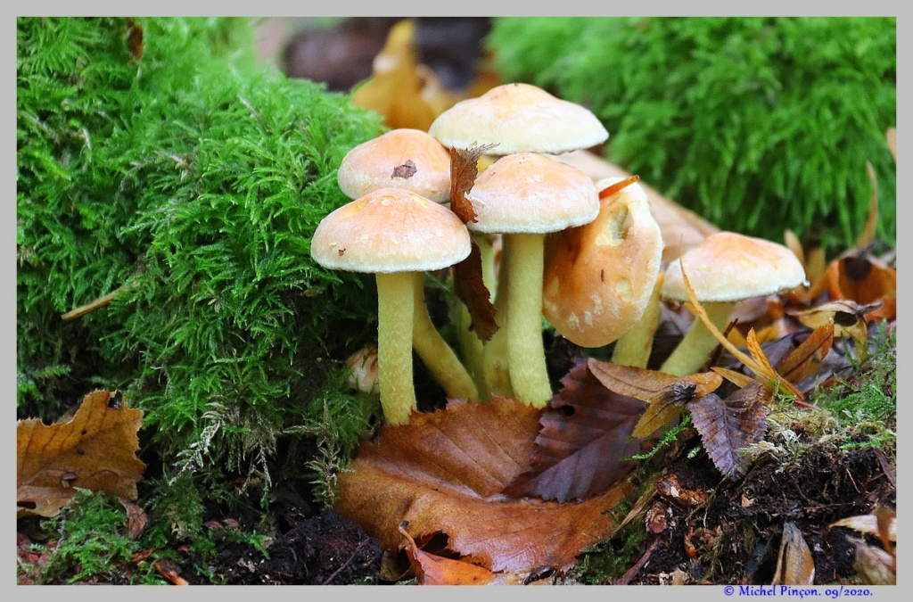 [fil ouvert] les champignons - Page 18 Dsc08907