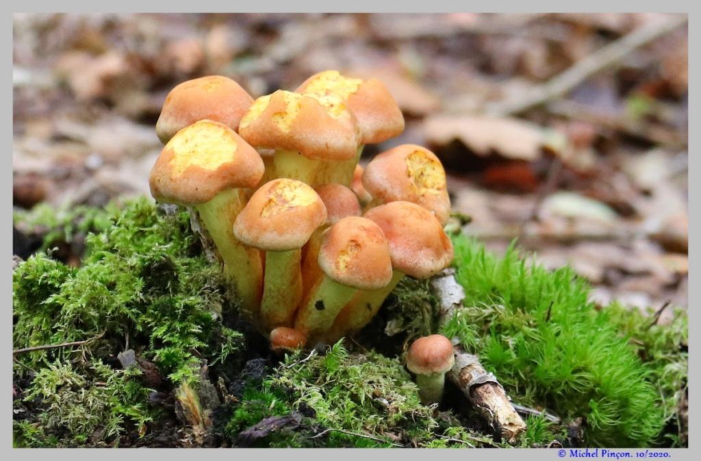 [fil ouvert] les champignons - Page 18 Dsc08911