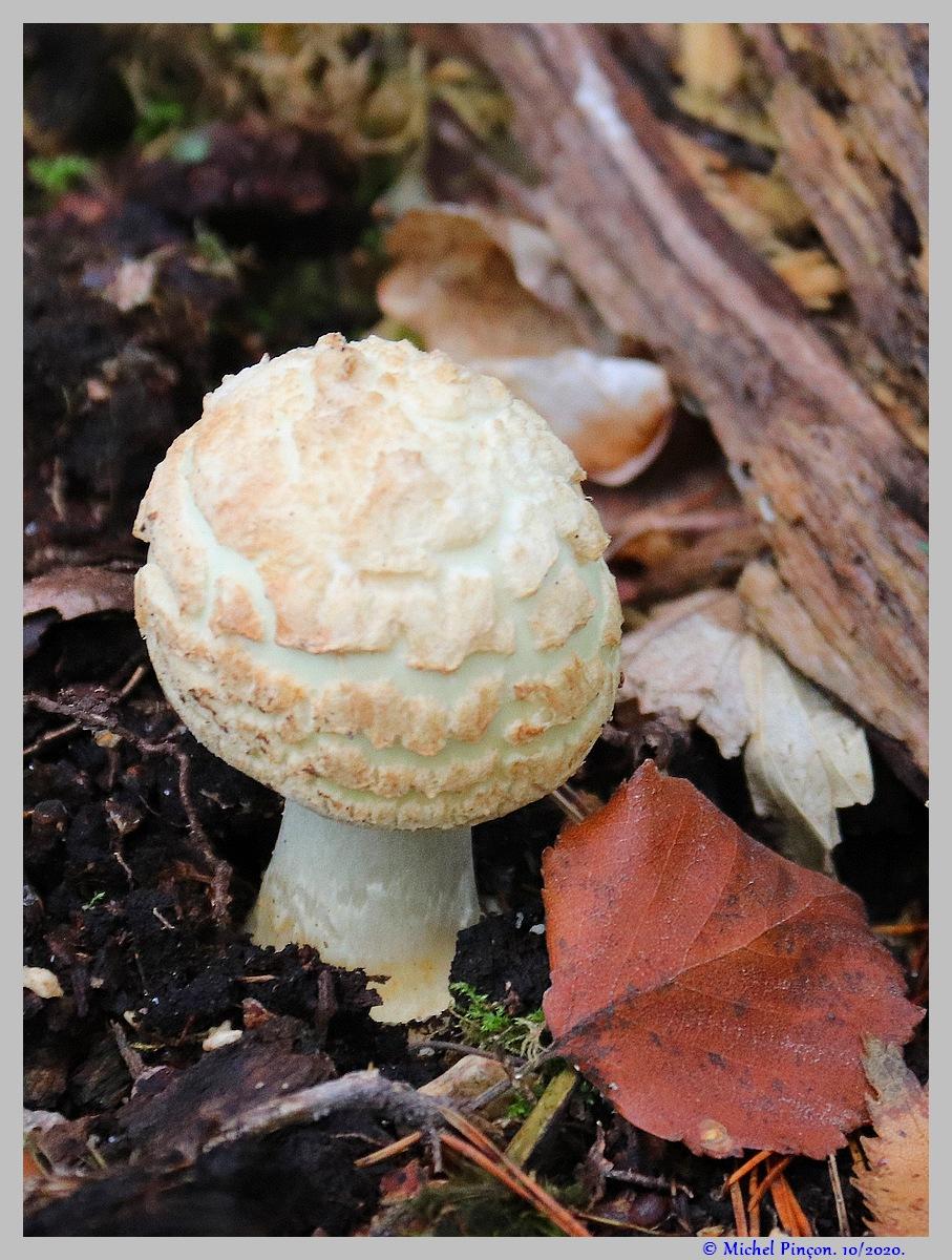 [fil ouvert] les champignons - Page 18 Dsc08912