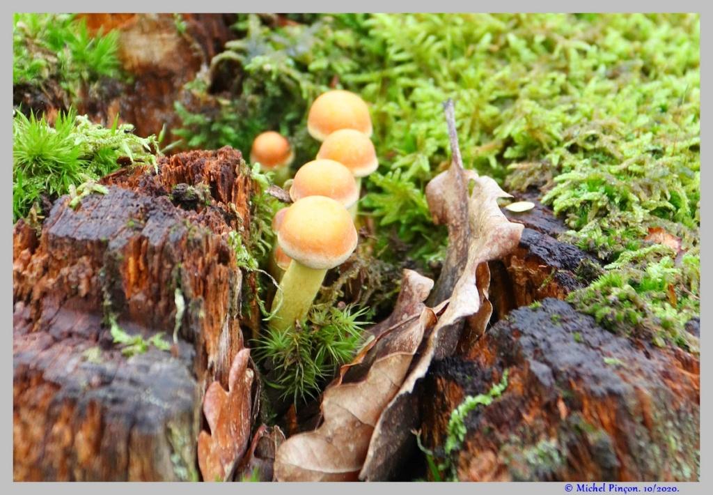 [fil ouvert] les champignons - Page 18 Dsc08914