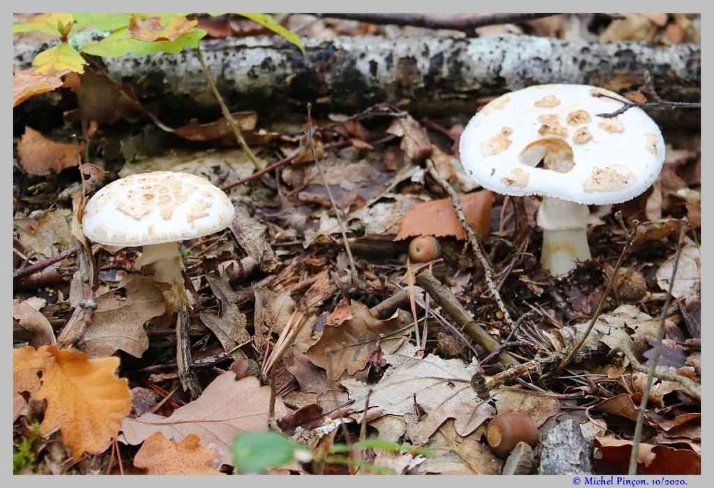 [fil ouvert] les champignons - Page 18 Dsc08915
