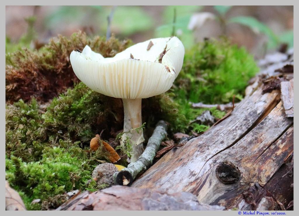 [fil ouvert] les champignons - Page 18 Dsc08917