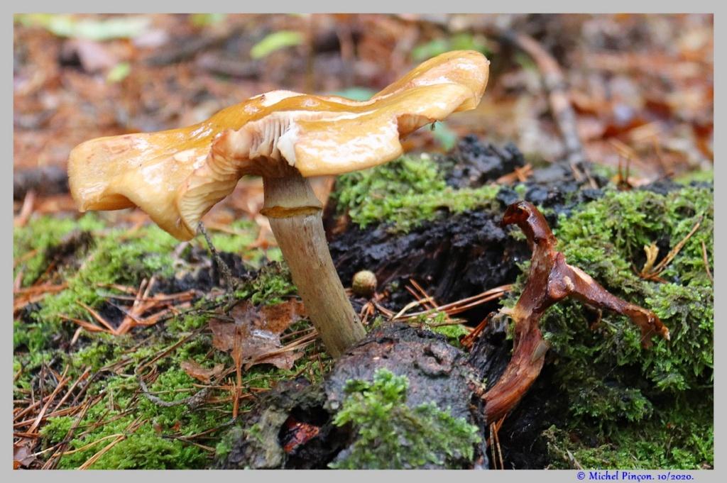 [fil ouvert] les champignons - Page 18 Dsc08920