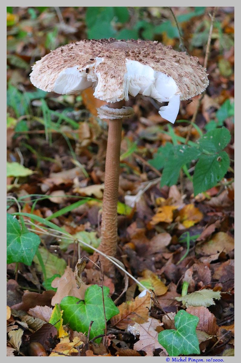 [fil ouvert] les champignons - Page 18 Dsc09022
