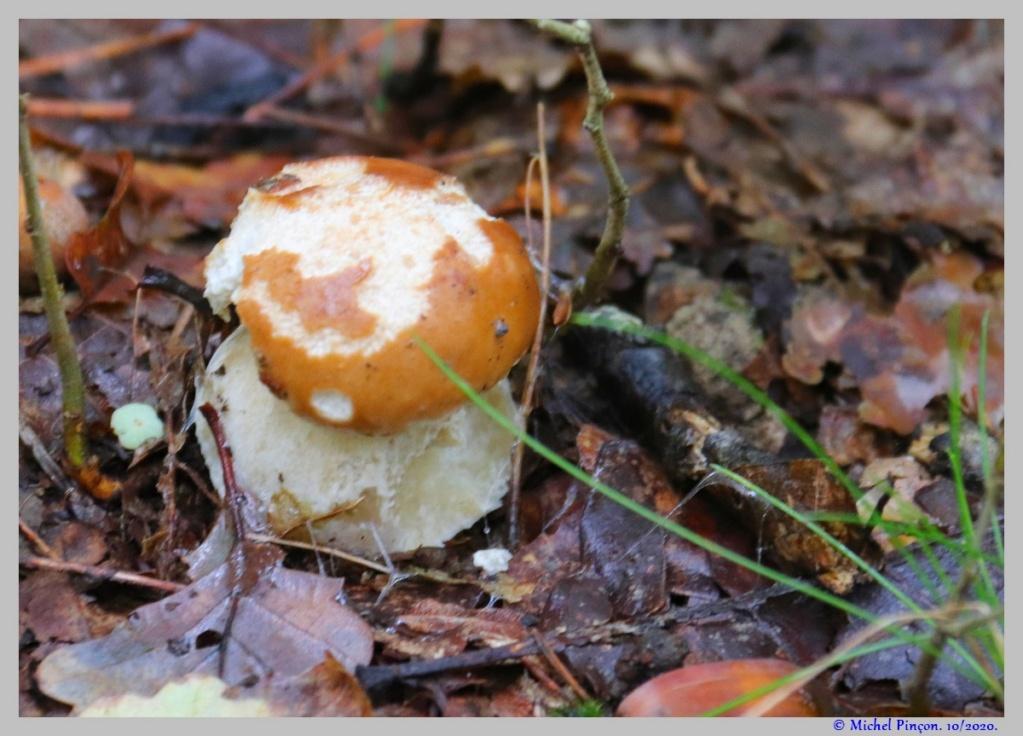 [fil ouvert] les champignons - Page 18 Dsc09024