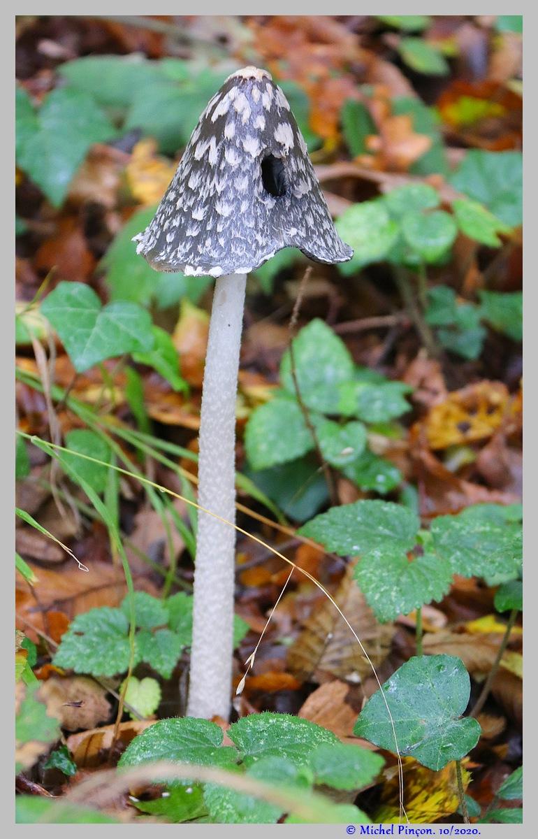 [fil ouvert] les champignons - Page 18 Dsc09028