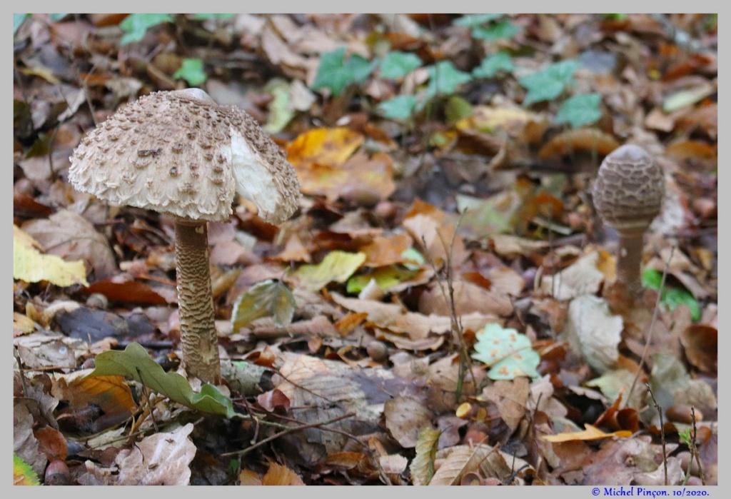 [fil ouvert] les champignons - Page 18 Dsc09029
