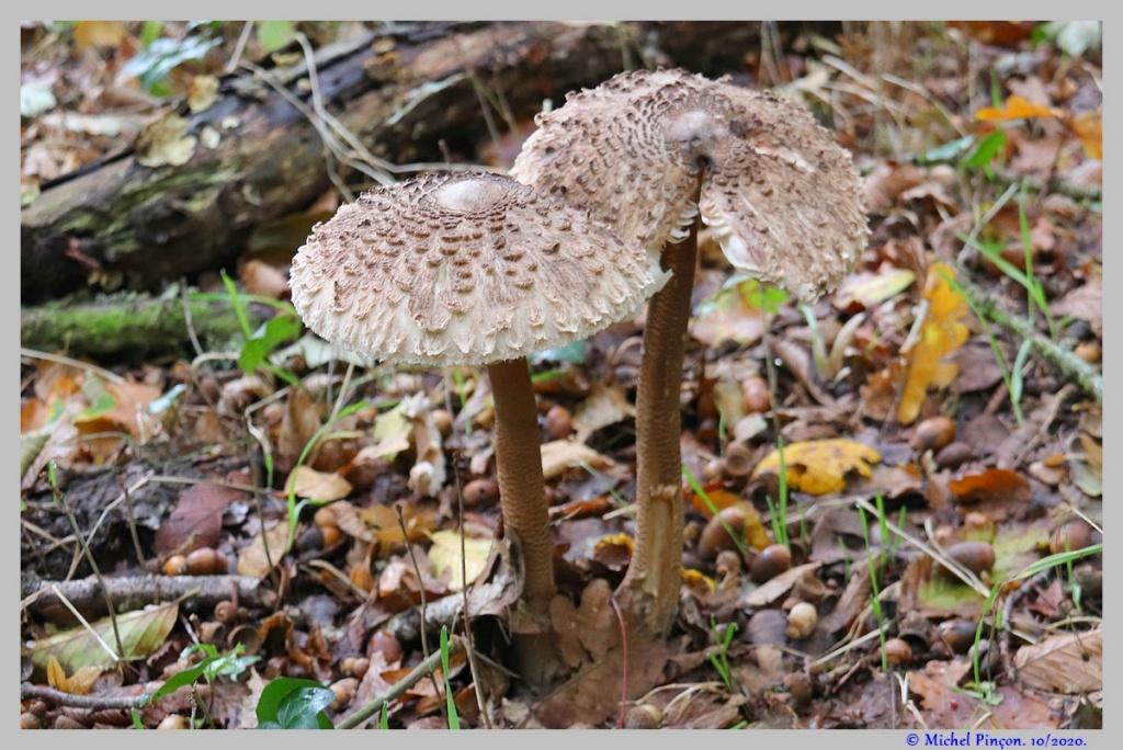 [fil ouvert] les champignons - Page 18 Dsc09033