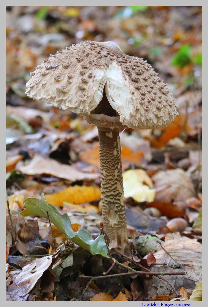 [fil ouvert] les champignons - Page 18 Dsc09034