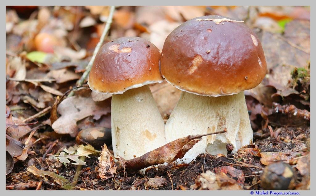 [fil ouvert] les champignons - Page 18 Dsc09053
