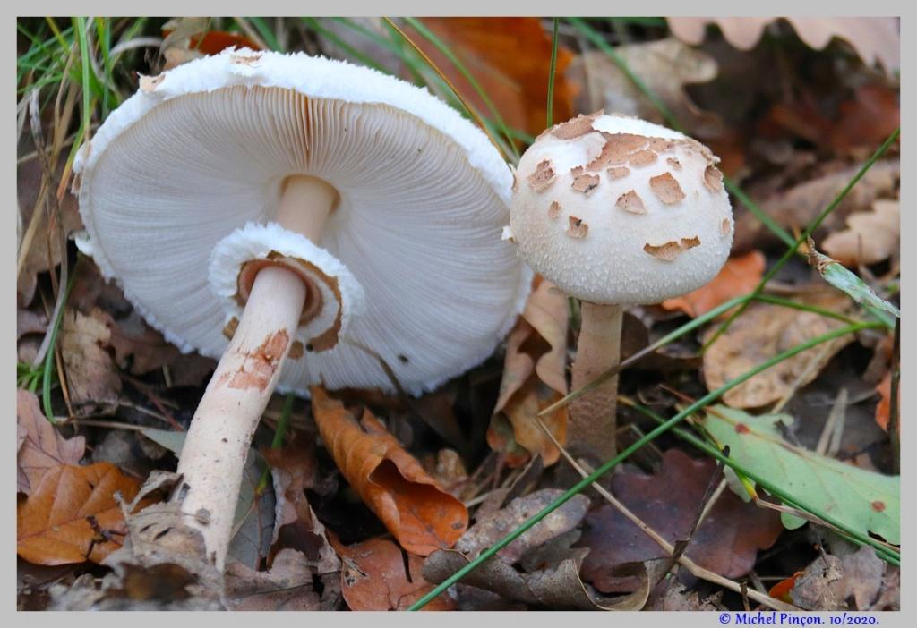 [fil ouvert] les champignons - Page 18 Dsc09091