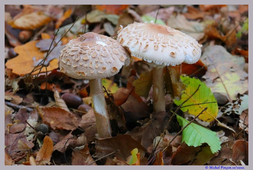 [fil ouvert] les champignons - Page 18 Dsc09109