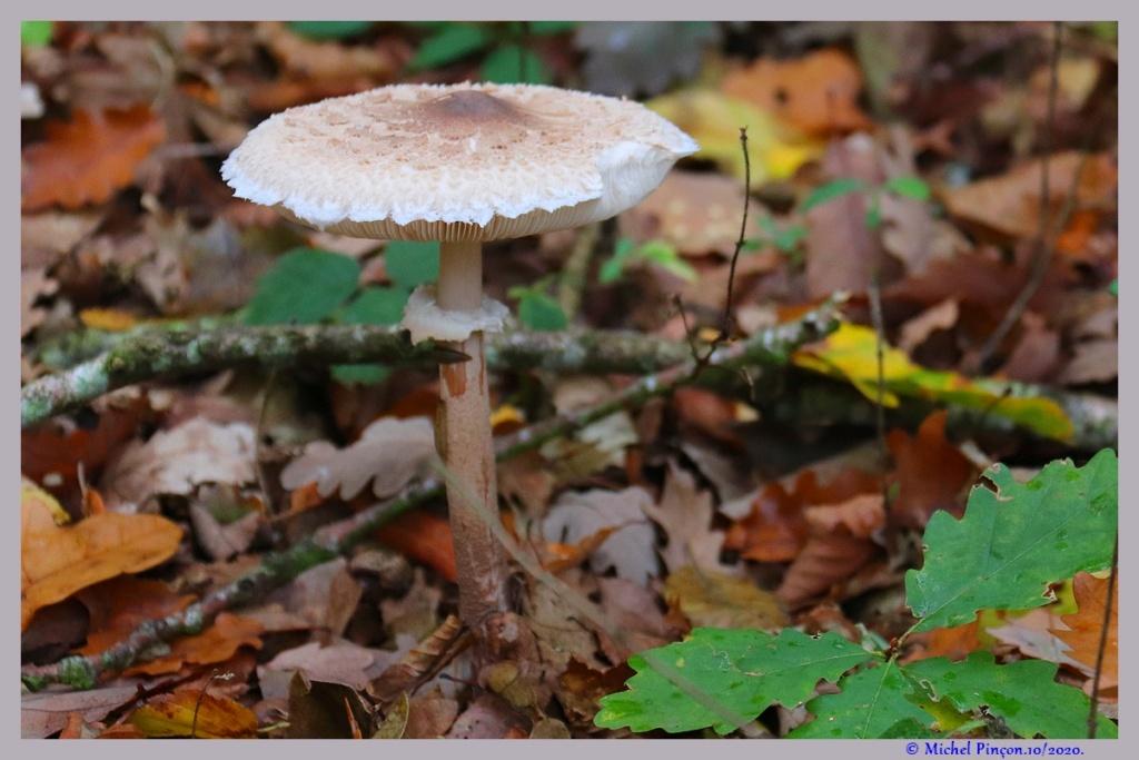 [fil ouvert] les champignons - Page 18 Dsc09114