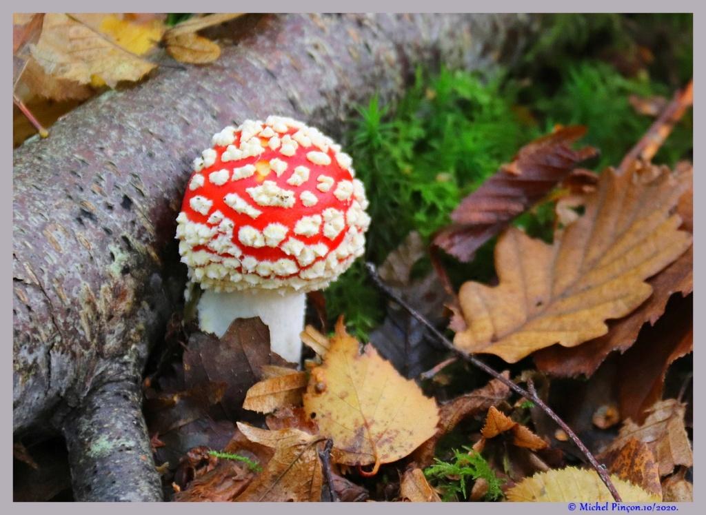 [fil ouvert] les champignons - Page 18 Dsc09119