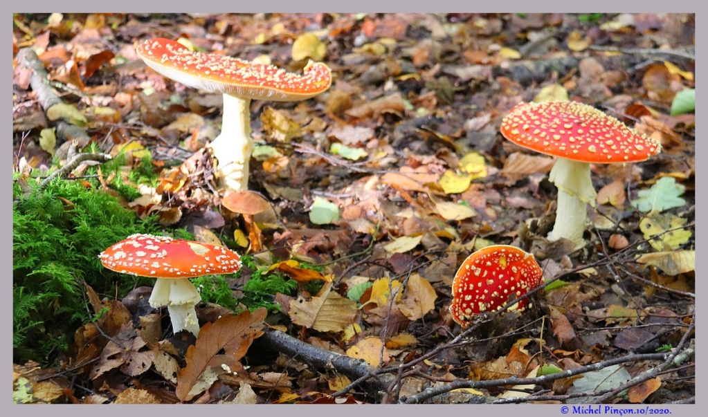 [fil ouvert] les champignons - Page 19 Dsc09125