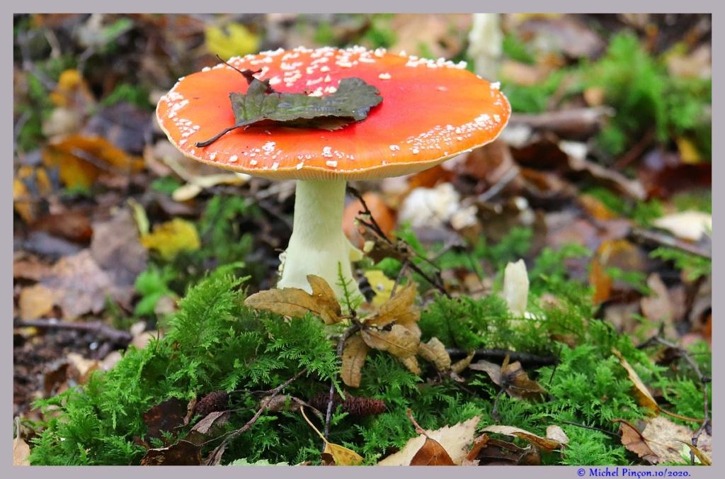 [fil ouvert] les champignons - Page 19 Dsc09126