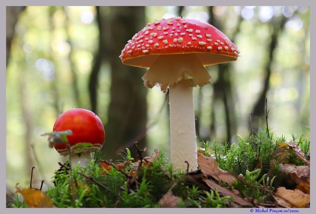 [fil ouvert] les champignons - Page 19 Dsc09127