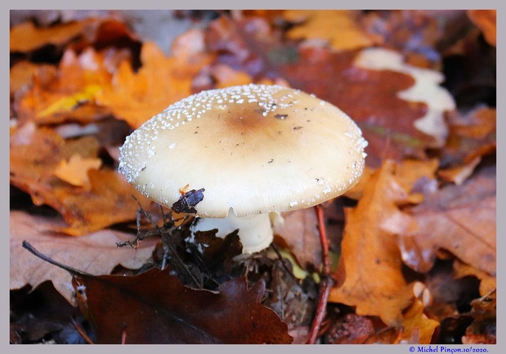 [fil ouvert] les champignons - Page 19 Dsc09165
