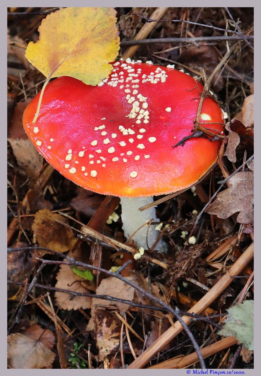 [fil ouvert] les champignons - Page 19 Dsc09169