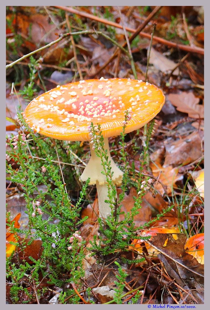[fil ouvert] les champignons - Page 19 Dsc09170
