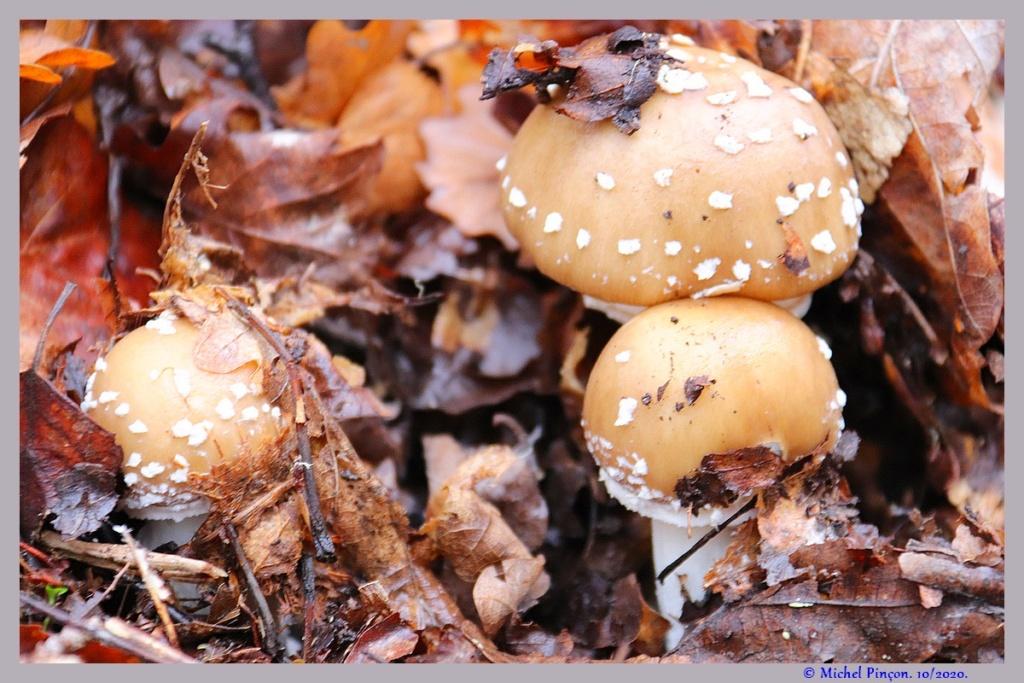 [fil ouvert] les champignons - Page 19 Dsc09275