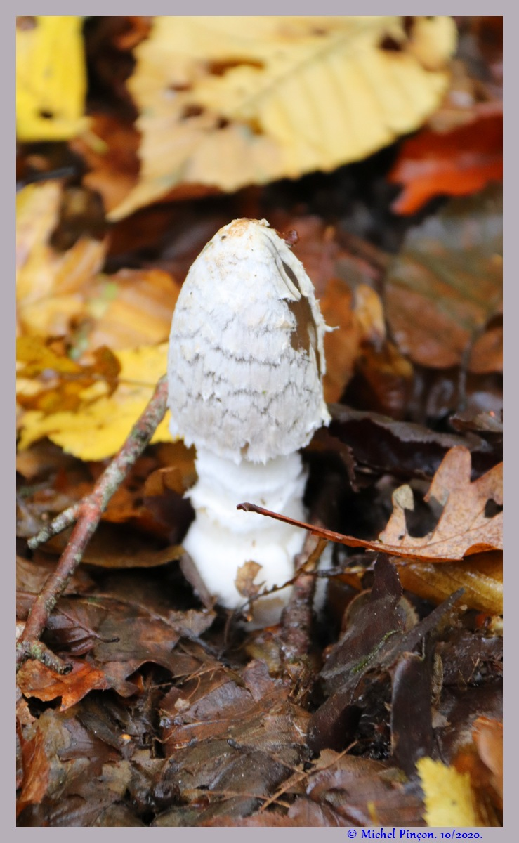 [fil ouvert] les champignons - Page 19 Dsc09277