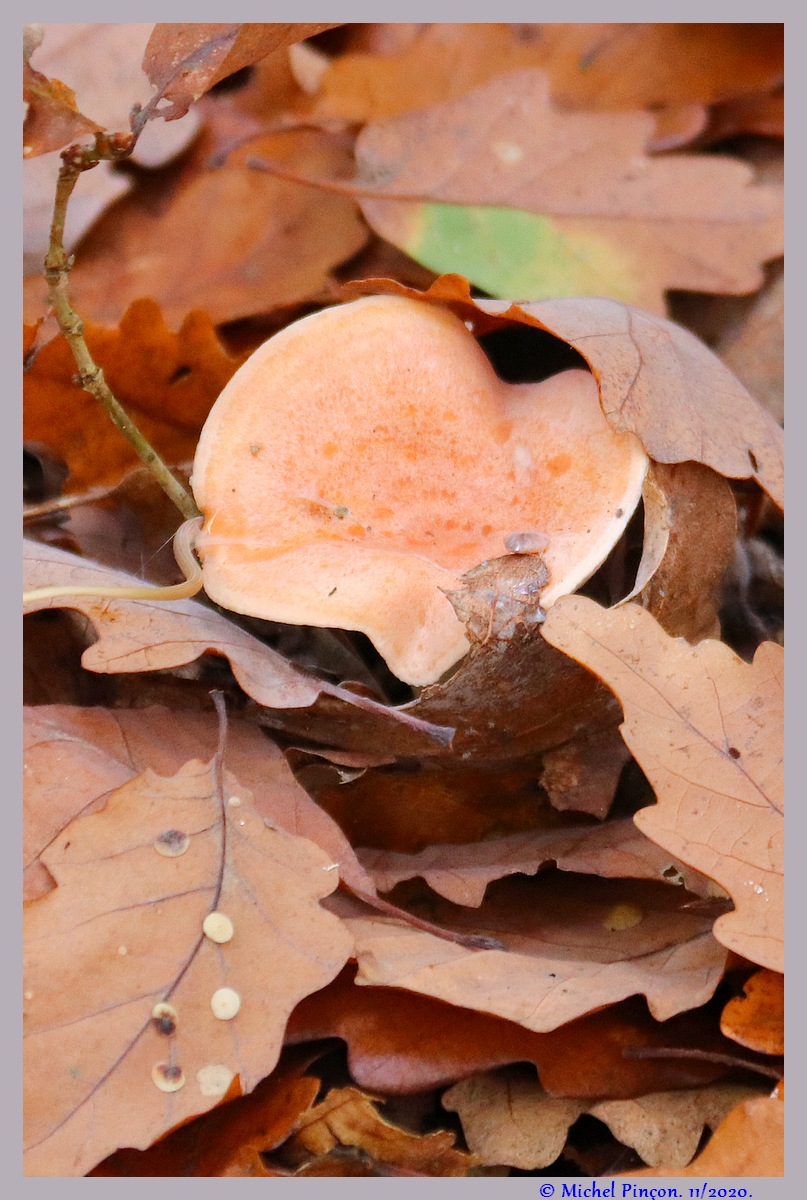 [fil ouvert] les champignons - Page 19 Dsc09286