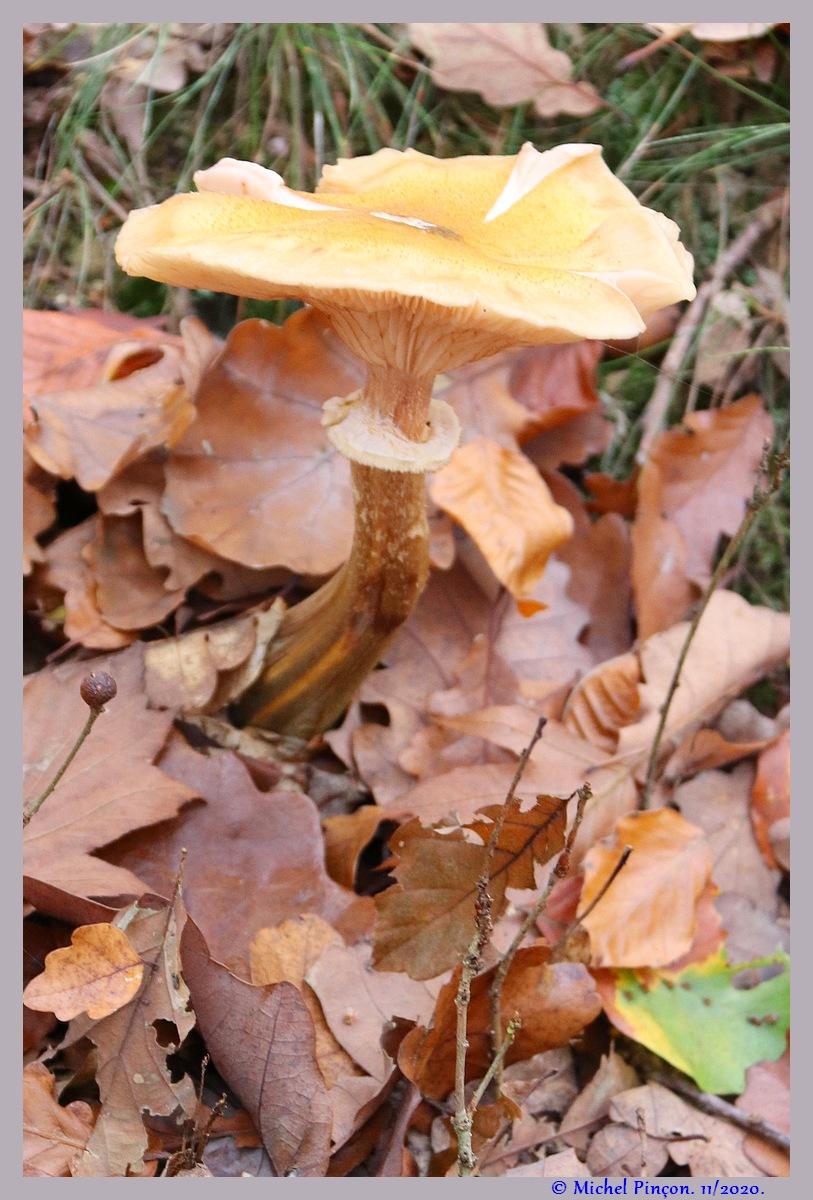 [fil ouvert] les champignons - Page 19 Dsc09288