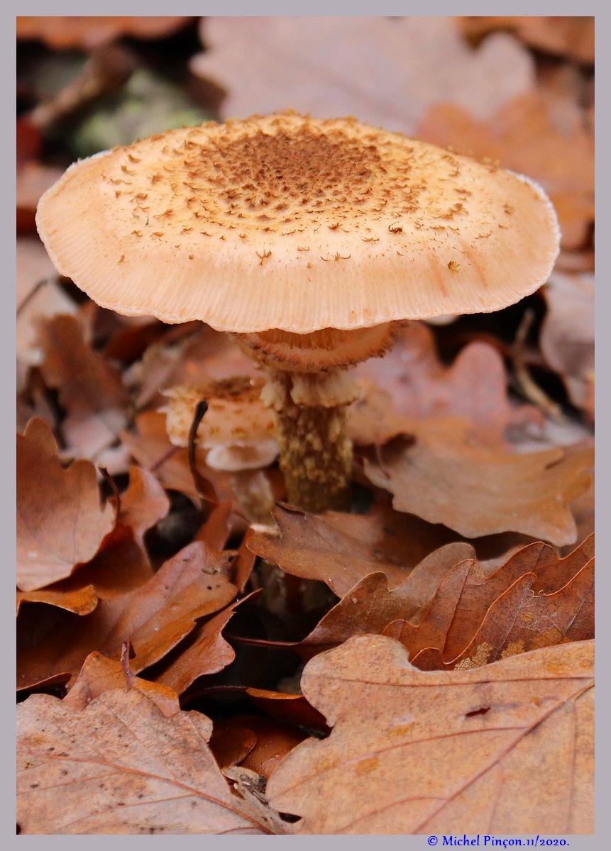 [fil ouvert] les champignons - Page 19 Dsc09289