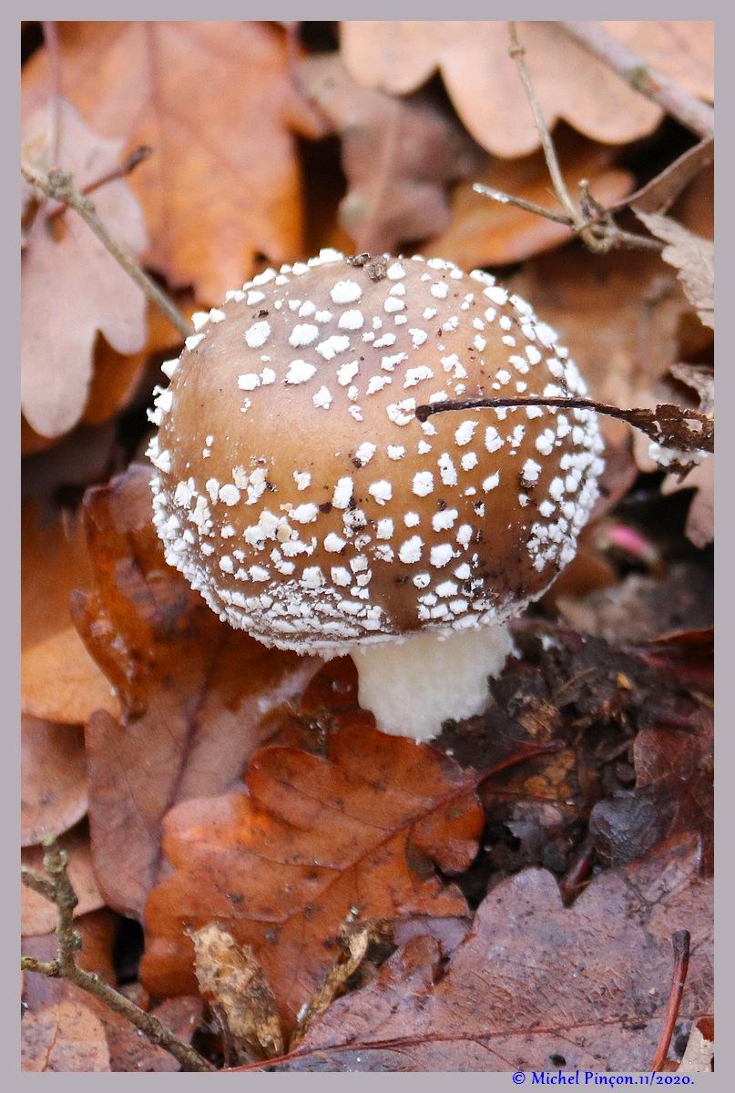 [fil ouvert] les champignons - Page 19 Dsc09291