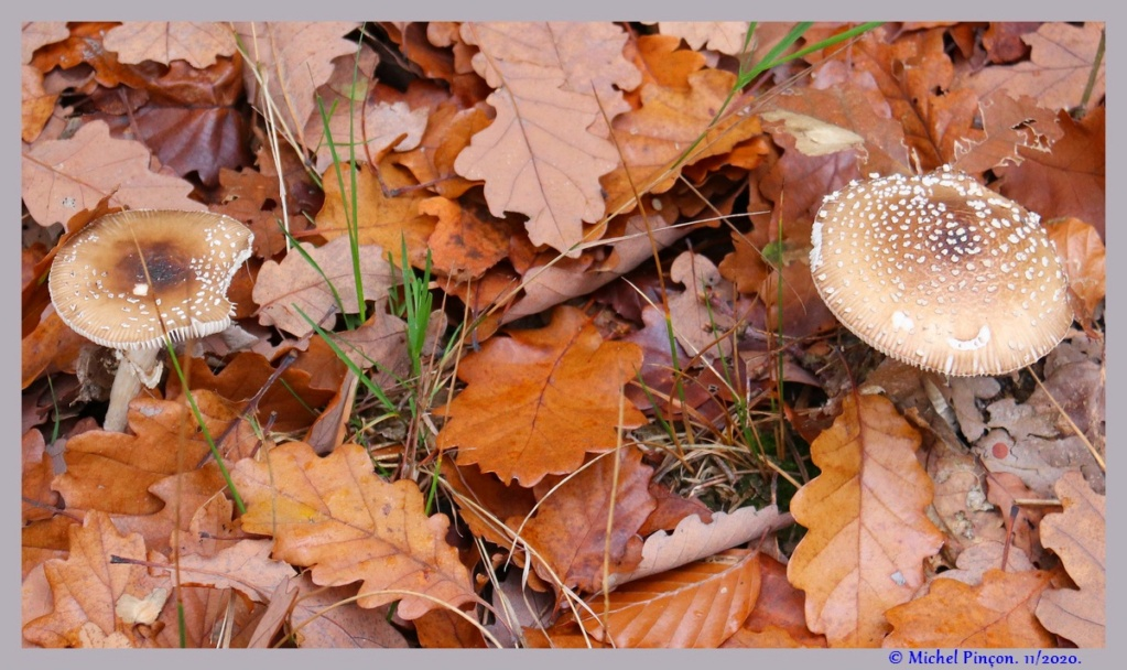 [fil ouvert] les champignons - Page 19 Dsc09297