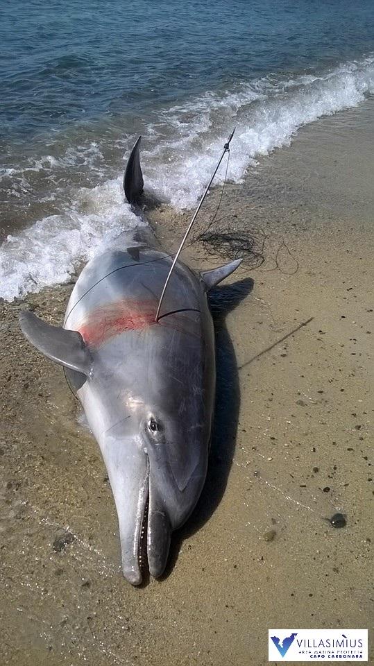 Un delfino su Giove Delfin11
