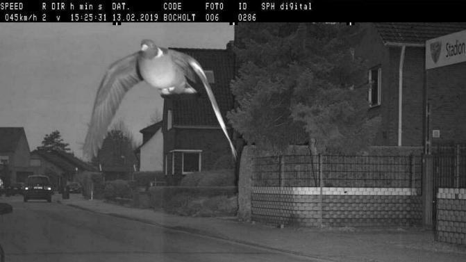 En Allemagne, un pigeon a été flashé en excès de vitesse 0129