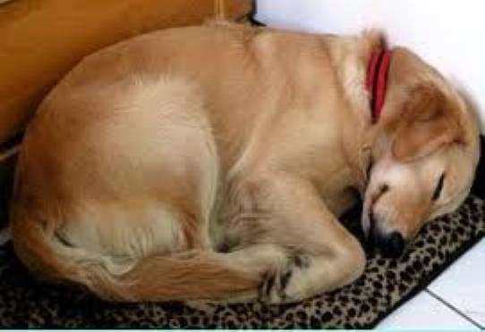 Le chien fatigué 0237