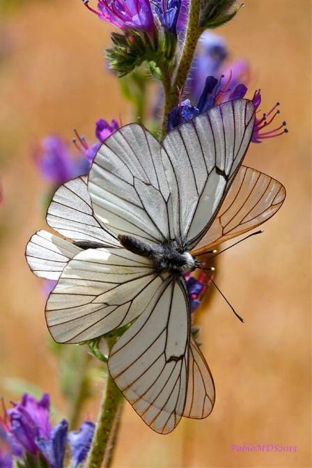 Merveilles de la nature - les papillons - X_0624