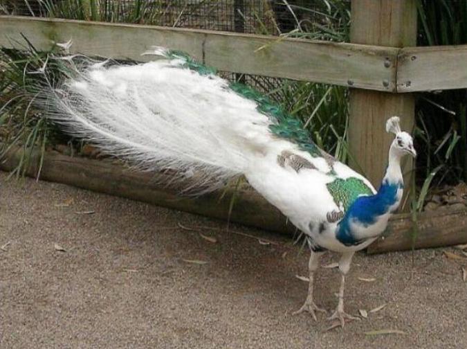 Les oiseaux du monde * X_1312