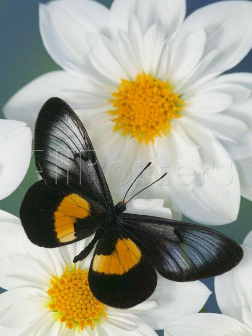 Merveilles de la nature - les papillons - X_1322