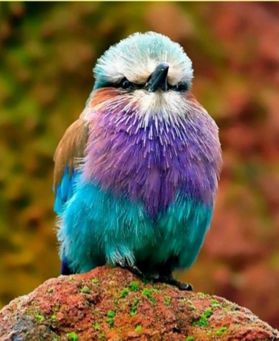 Les oiseaux du monde * X_1711